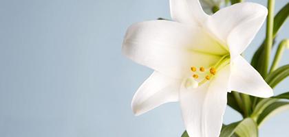 عطر لیلیوم و گل لیلیوم (سوسن): از گل تا عصاره لیلیوم