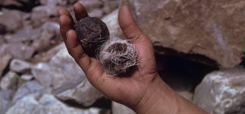 -Himalayan-musk-deer-pods